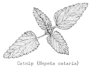 Piping Rock Catnip Essential Oil