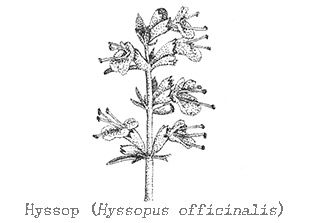 Piping Rock Hyssop Essential Oil