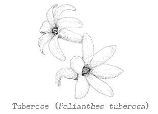how to make tuberose essential oil