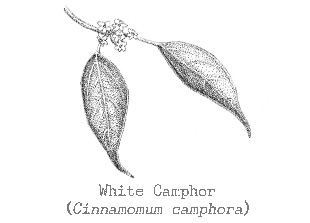 Piping Rock White Camphor Essential Oil
